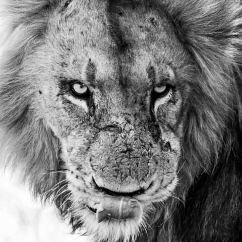 B & W Lion-2